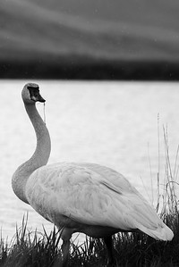 Rain beeds off of a Trumpeter Swan