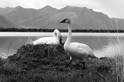 A male Trumpeter Swan stands guard beside his mate and nest