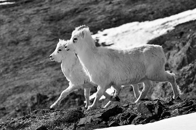 Young Dall Sheep begin to shed their winter coats in Spring