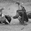Ruppells Griffon Vulture (Gyps reuppellii)
