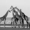 Masai Giraffe (Giraffa camelopardalis tippelskirchi),