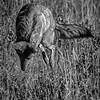 Coyotee hunting