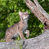Curious Bobcat Kitten