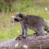 Raccoon Kit