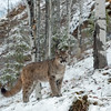Mountain Lion Cub