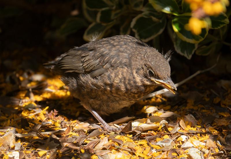 Baby Blackbird (early May 2021)
