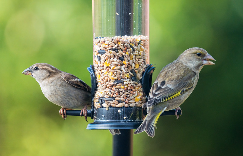 House Sparrow (left) and Female Greenfinch (right)