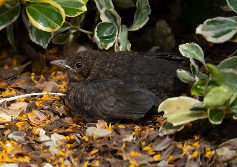 Baby Blackbird (May 2021)