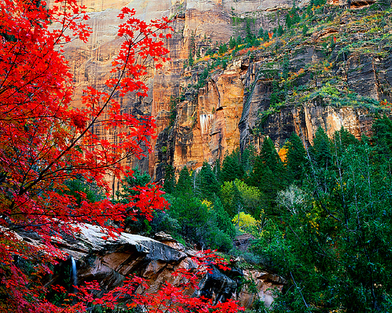 Wild Red Maple and Waterfall