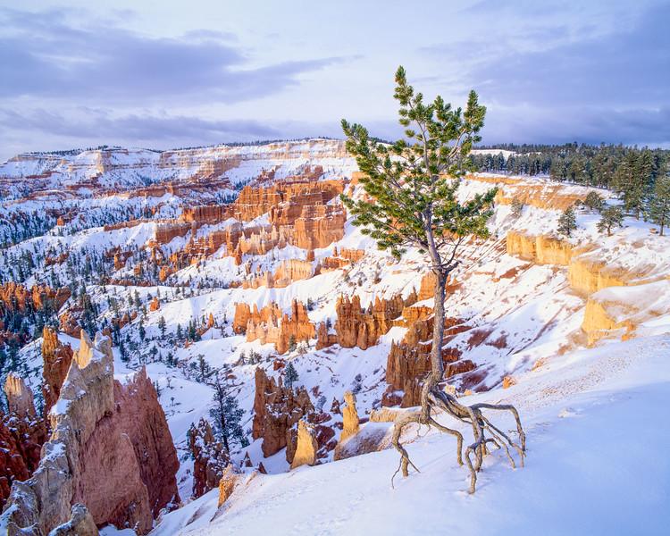 Limber Pine in Winter Light