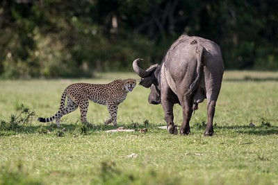 Cheetah chased by a buffalo
