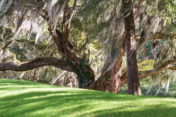 Old Oak Tree with Spanish Moss