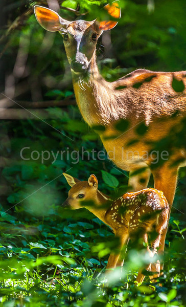 Deer in back yard - May 2014-0017 - 72 ppi-2