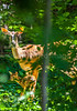 Deer in back yard - May 2014-0017 - 72 ppi