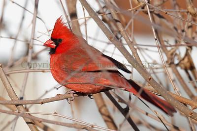 110162 Male Cardinal