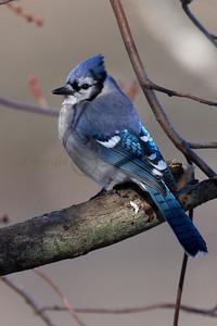 121607 Blue Jay