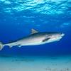 Tiger Shark IV - Tiger Beach, Bahamas 2021