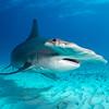 Great Hammerhead I - Bimini, Bahamas 2021