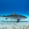 Tiger shark II - Tiger Beach, Bahamas 2021