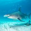 Great Hammerhead IV - Bimini, Bahamas 2021