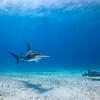 Great Hammerhead and Nurse Shark - Bimini, Bahamas 2021