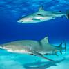 Caribbean Reef and Lemon Shark - Tiger Beach, Bahamas 2021