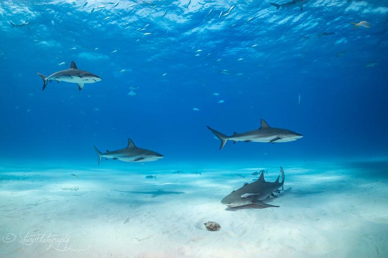 Tiger Beach I - Bahamas 2021