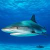 Caribbean Reef  Shark II - Tiger Beach, Bahamas 2021