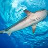 Tiger Shark V - Tiger Beach, Bahamas 2021