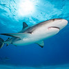 Caribbean Reef Shark I - Tiger Beach, Bahamas 2021