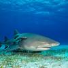 Lemon Shark  - Tiger Beach, Bahamas 2021
