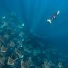 Mobula Rays XI, Baja California Sur - 2021