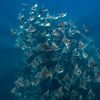 Mobula Rays XIX, Baja California Sur - 2021