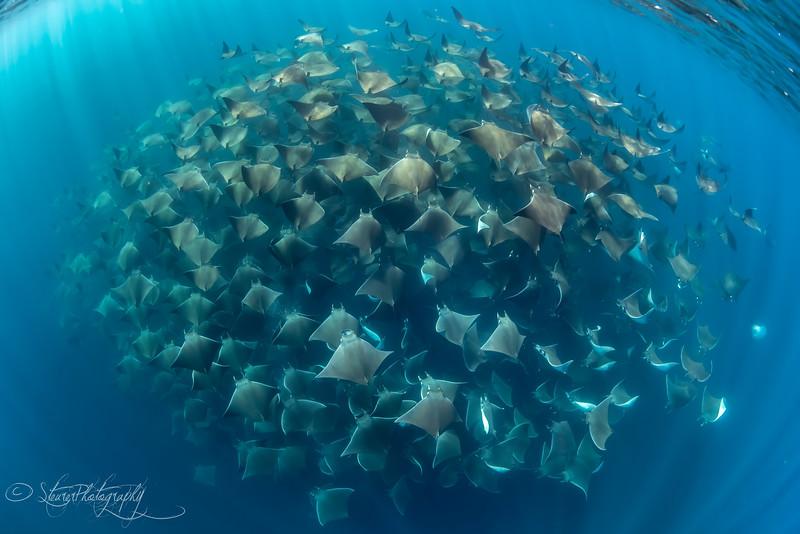 Mobula Rays I, Baja California Sur - 2021