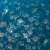 Mobula Rays IX, Baja California Sur - 2021