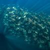 Mobula Rays XVIII, Baja California Sur - 2021