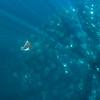 Mobula Rays III, Baja California Sur - 2021