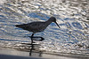 Willet back lighting.