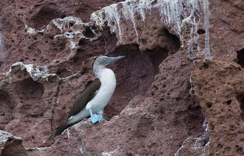 Blue Footed Booby. John Chapman.
