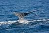 Humphback Whale. John Chapman.