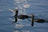 Double Crested Cormorants.