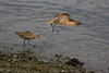 Marbled Godwits.