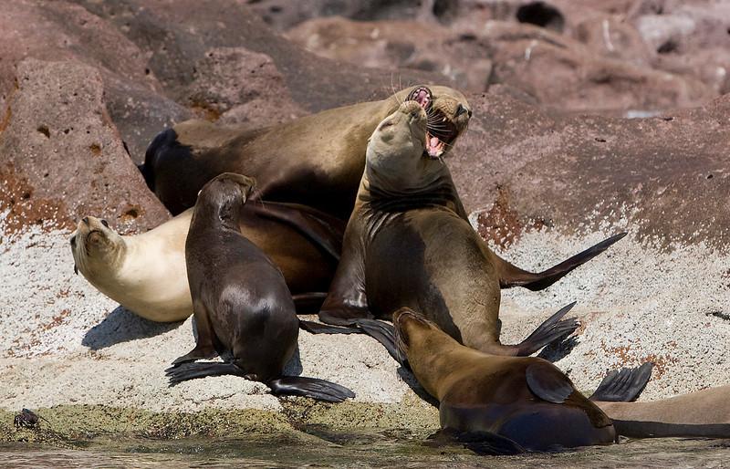 Seals Fighting. John Chapman.