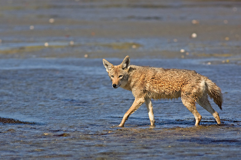 Coyote crossing the river.