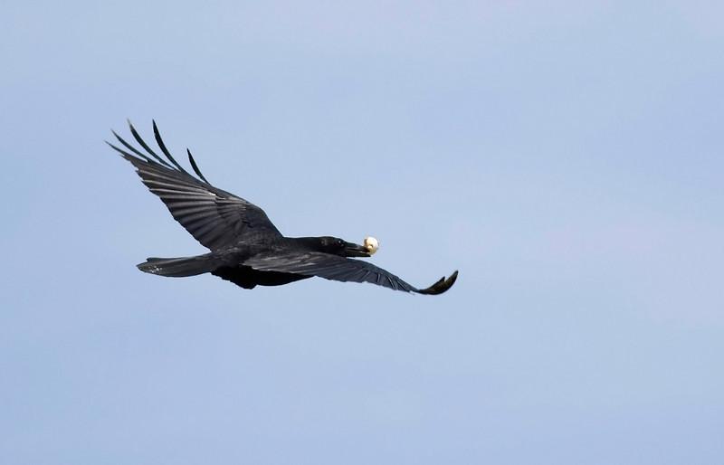 Raven. John Chapman.