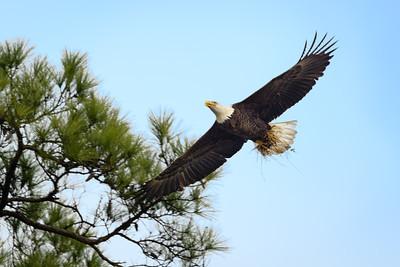 The Woodlands Bald Eagles