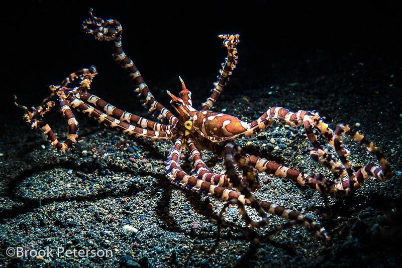 Wunderpus Octopus in Flight