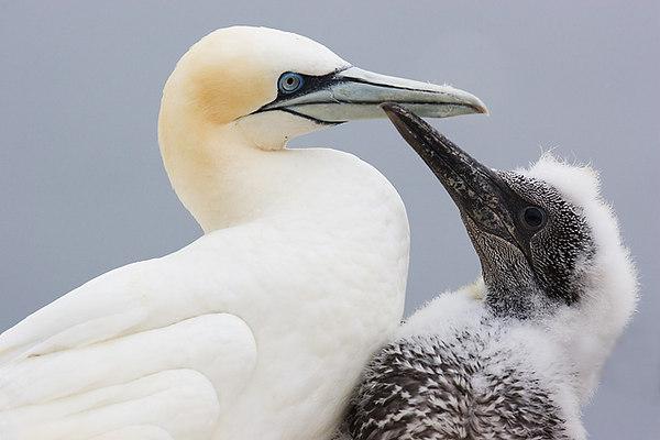 Gannets Mum and Chick. John Chapman.