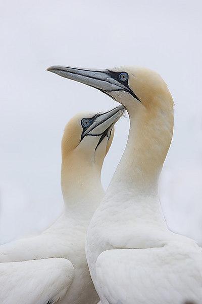 Gannets. John Chapman.