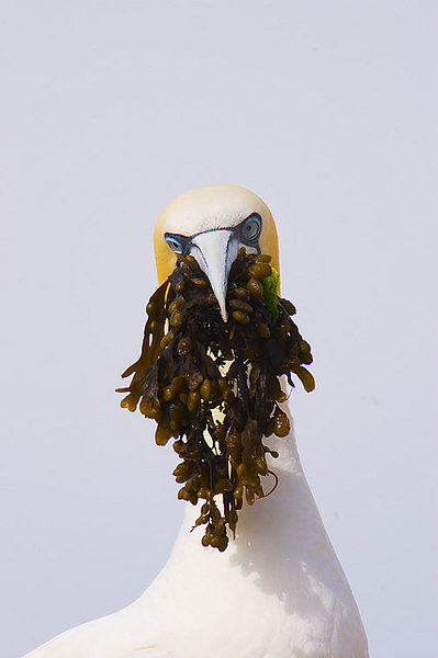 Gannet with nesting material. John Chapman.